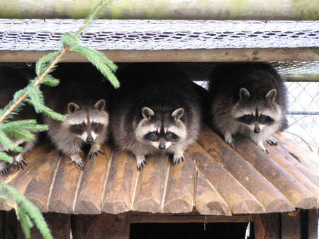 A gang of coons on a hut Stock Photo