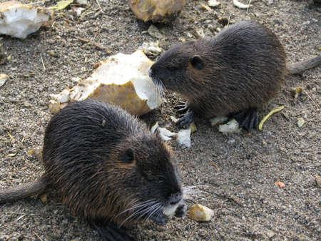 Two beavers eating a potato