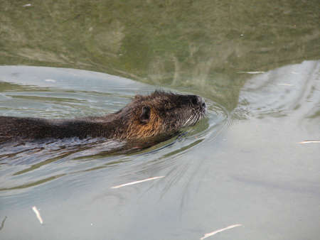 A beaver swimming in the water