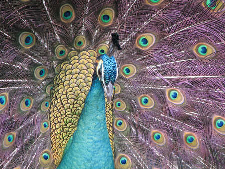 showoff: A peacock posing in front of the camera Stock Photo