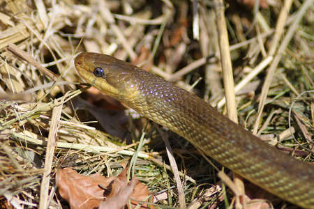 squamata: Close up of a Aesculapian Snake Stock Photo