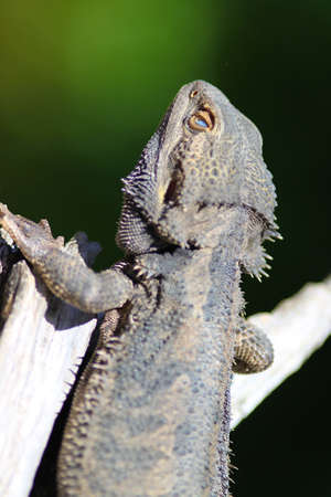 Bearded Dragon with closed eye lid photo