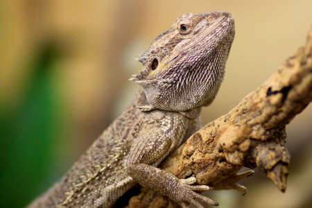 herpetology: Close up of a Bearded Dragon