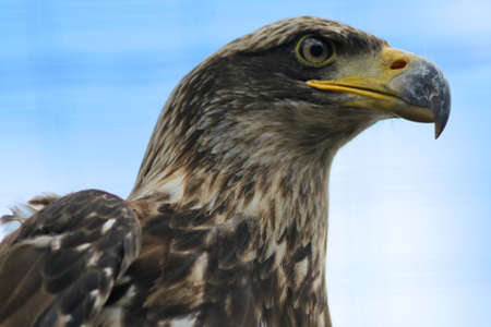 accipitridae: Close up of an Eastern Imperial Eagle