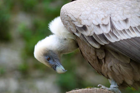 accipitridae: Close up of a Griffon Vulture