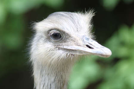 rhea: The rheas are species of flightless ratite birds in the genus Rhea, native to South America. There are two existing species: the Greater or American Rhea and the Lesser or Darwins Rhea.