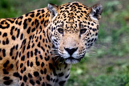 onca: Close up portrait of Jaguar (Panthera onca)  Stock Photo