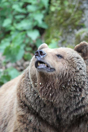 the bather: Close up of a Brown Bear