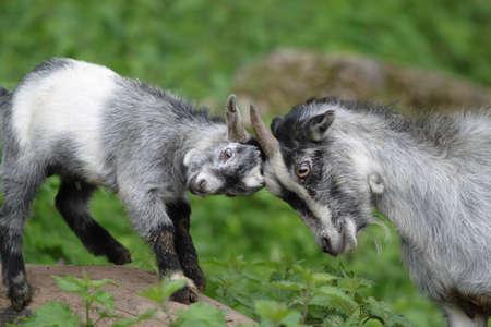 wild goat: Close up de una cabra salvaje