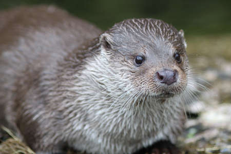Close up of a otter feeding