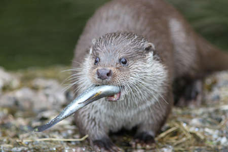 clawed: Close up of a otter feeding