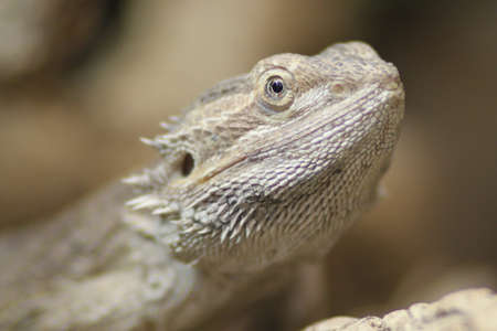 Close up of a Bearded Dragon Stock Photo - 7039970