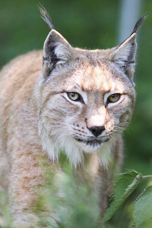 Close up of a European Lynx in the grass Stock Photo