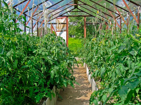 Tomatoes in greenhouse. Growing tomatoes in a greenhouse. Vegetable growing photo