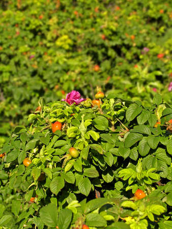fruiting: Flowering and fruiting bushes of briar. Shallow depth of field