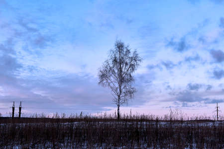 dormant: Dormant birch in middle of winter snow-covered field. Twilight