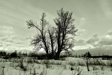 dormant: Dormant tree in winter snowy field. Black and white, light green toning