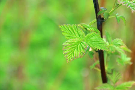 gooseberry bush: Lush young spring green leaves of gooseberry bush on blurred natural background. Shallow DOF
