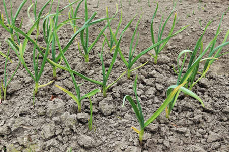 topsoil: Patch with garlic. Vegetable growing. Growing garlic in vegetable garden
