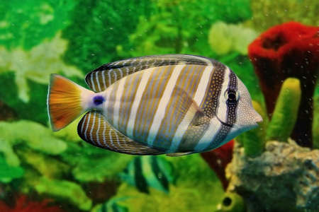 fishtank: Striped marine fish with grey and white vertical lines, yellow tail and blue point at base of tail. Sea saltwater aquarium. Shallow depth of field