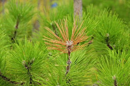 piny: Not like everyone else. Yellow bunch of fir branch on background of the same, but green. Shallow depth of field, focus on yellow twig