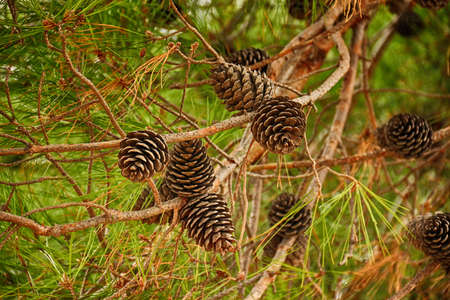 piny: Fir branch with pine cones. Horizontal orientation. Shallow depth of field