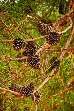 piny: Fir branch with pine cones. Vertical orientation. Shallow depth of field