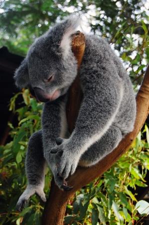 lone pine: Dormir koala, Lone Pine Koala Sancuary parque cerca de Brisbane, Australia Foto de archivo