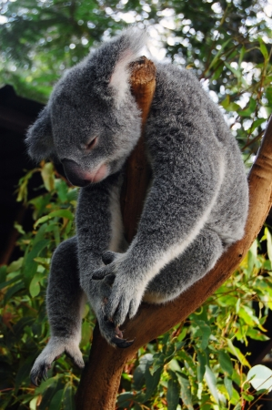 koalabeer: Slapen koala, Lone Pine Koala Sancuary park in de buurt Brisbane, Australië