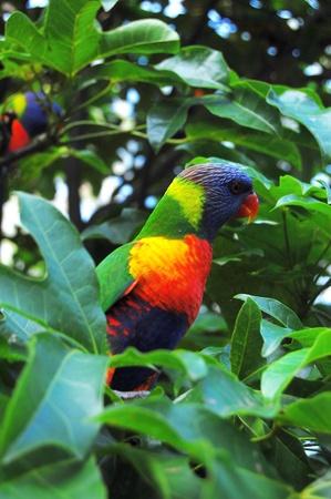 polly: Parrot, Lone Pine Koala Sancuary park near Brisbane, Australia