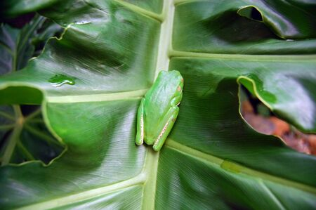 cairns: Green tree frog o leaf, Cairns, Australia Stock Photo