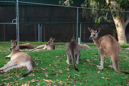 Kangaroos in zoo, Lone Pine Koala Sancuary park, near Brisbane, Australia photo