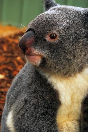lone pine: Koala en Lone Pine Koala Sancuary, cerca de Brisbane, QLD, Australia Foto de archivo