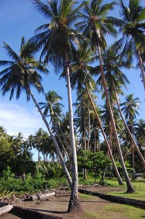 new guinea: Ragazzo si arrampica a palma di cocco, Papua Nuova Guinea