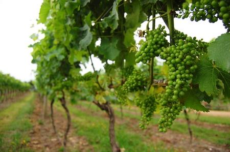 Vineyard green grape, Waiheke Island, New Zealand Stock Photo
