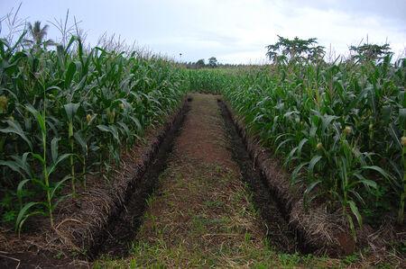 Nuova Guinea: Piantagione di mais con fosso a Papua Nuova Guinea