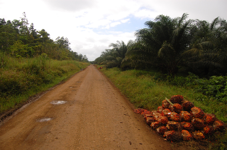 oil palm: Gravel road at palm plantation, Papua New Guinea
