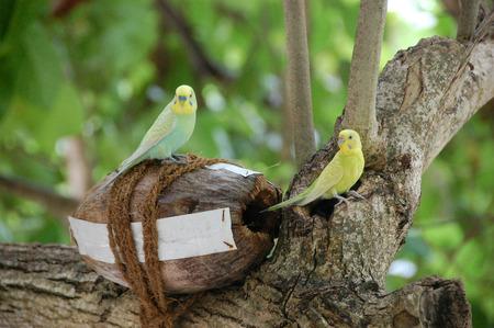 loros verdes: Loros verdes amarillos en el �rbol nido de coco Maldivas, Thulhagiri Island Resort