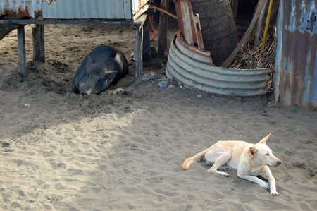 papua new guinea: Pig and dog at sand in village, Papua New Guinea