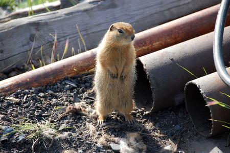 Arctic ground squirrel near metal tube, Pevek town, Chukotka, Russia Stock Photo