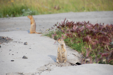 Arctic ground squirrels at roadside, Pevek town, Chukotka, Russia Stock Photo