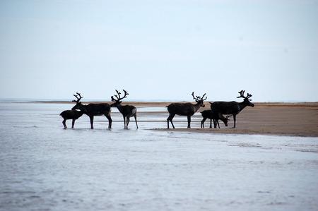 Wild dears at Chukotka sea coast, Ayon Island, Russia Stock Photo