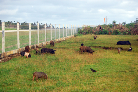 Pigs at field near airport fence, Haapai Island, Polynesia, South Pacific, Tonga
