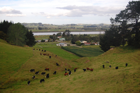 Cows at hills farm rural area, Dargaville, Northland, North Island, New Zealand