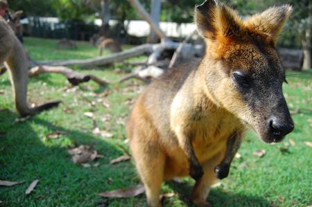 Wallaby at park on grass, Brisbane, Queensland, Australia