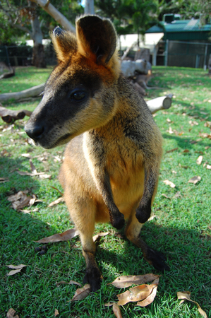 varmint: Kangaroo at town park, Brisbane, Queensland, Australia