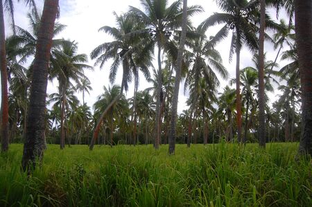 Palms at South Pacific island rural area, Polynesia, Tonga