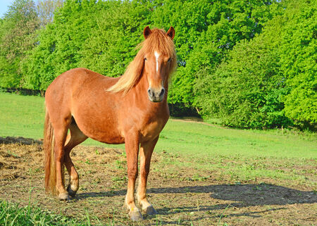 quarter horse: A beautiful red horse grazing and staring in the early morning spring sunshine