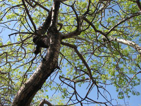 crooked: crooked tree