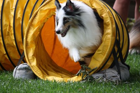 a collie charges through an obstacle course
